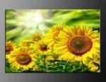 LED obraz 80x60cm vzor 842 slunečnice a slunce