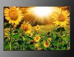 LED obraz 100x70cm vzor 414 slunečnice